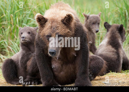 Grizzly bear sow with three cubs in Geographic bay Katmai National Park Alaska - Stock Photo