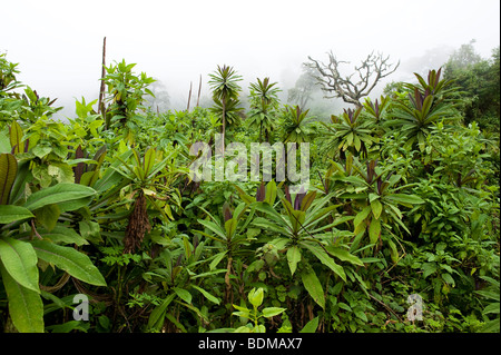 Lobelias, Volcanoes National Park, Rwanda - Stock Photo