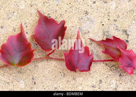 Japanese maple (Acer palmatum) 'bloodgood' leaves - Stock Photo