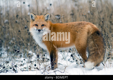 Red Fox (Vulpes vulpes), North America, by Dominique Braud/Dembinsky Photo Assoc - Stock Photo