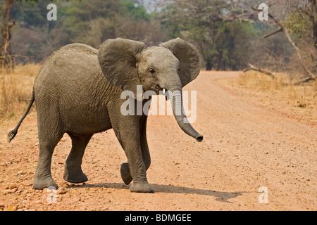 African Bush Elephant (Loxodonta africana), South Luangwa National Park, Zambia, Africa - Stock Photo