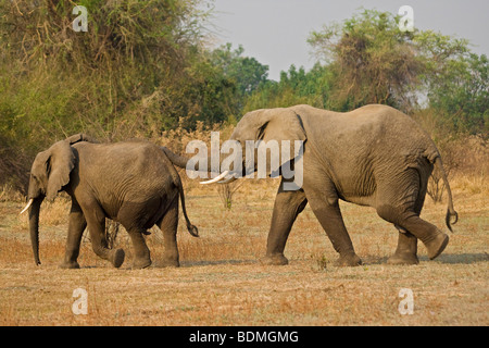 African Bush Elephants (Loxodonta africana), South Luangwa National Park, Zambia, Africa - Stock Photo