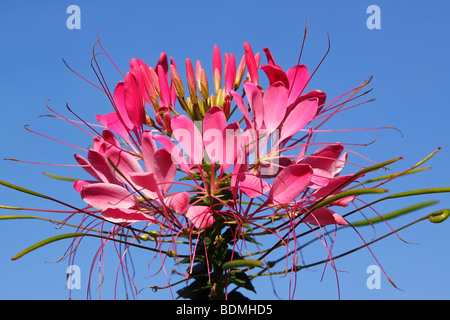 Flowering spider flower (Cleome spinosa) - Stock Photo