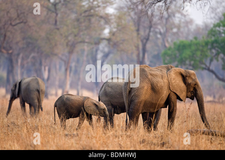 Herd of African Bush Elephants (Loxodonta africana) with juveniles, South Luangwa National Park, Zambia, Africa - Stock Photo