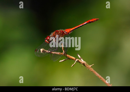 Male Ruddy Darter (Sympetrum sanguineum), male perched on abranch - Stock Photo
