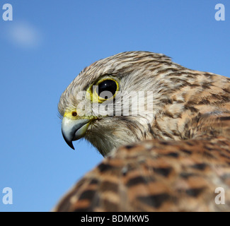Young Common Kestrel (Falco tinnunculus), UK 2009 - Stock Photo