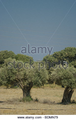 Old ancient Olive tree trunk bark nature fauna nature trees growing live olives Italy - Stock Photo