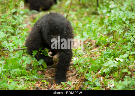 Mountain gorilla, Gorilla gorilla berengi, Volcanoes National Park, Rwanda - Stock Photo