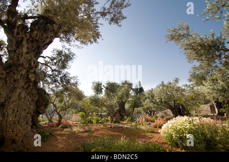 ... Ancient Olive Trees In The Garden Of Gethsemane, Traditional Site Of  Jesusu0027 Place Of