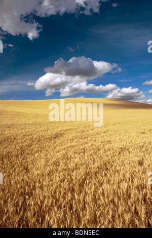 Beautiful clouds float over this August field of wheat in eastern Washington's Palouse region. - Stock Photo
