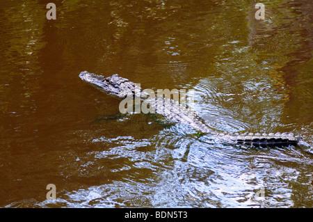 An alligator in a bayou swamp near New Orleans, Louisiana - Stock Photo