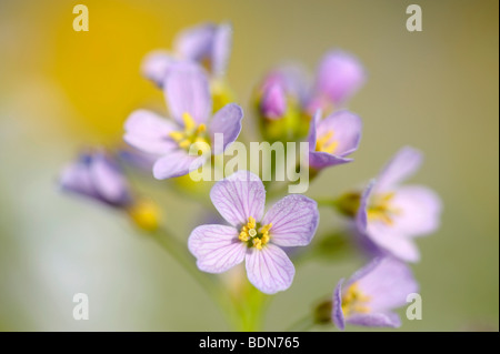 Cuckoo Flower (Card amines pratensis) on a spring meadow - Stock Photo