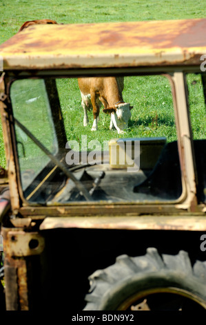 Old tractor and cows on pasture - Stock Photo