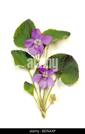 Common Dog Violet (Viola riviniana), flowering plant, studio picture. - Stock Photo