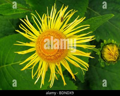 Elecampane, Horse-heal or Marchalan (Inula helenium), medicinal plant - Stock Photo