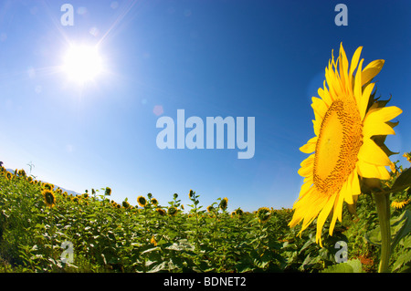 Sunflower facing the sun, Waterberg Region, South Africa - Stock Photo