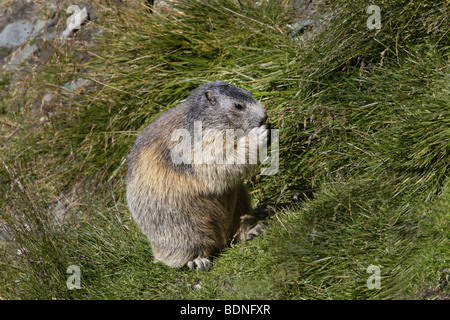 Alpenmurmeltier (Marmots marmota) alpine marmot - Stock Photo