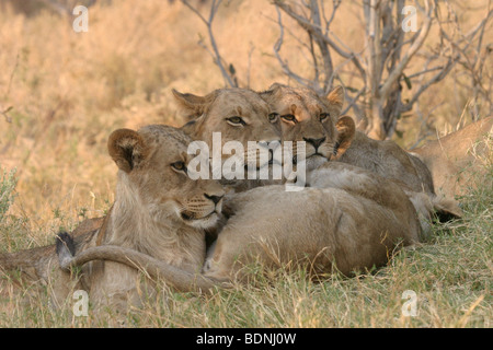 Watchful pride of lionesses relaxing during the heat of the day in Botswana. - Stock Photo