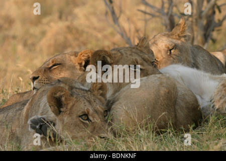 Pride of lionesses resting during the heat of the day in Botswana. - Stock Photo