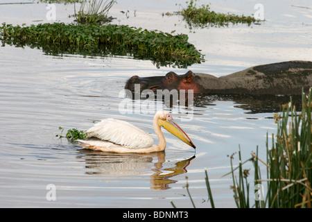 Africa, Tanzania, Lake Eyasi National Park a flock of Great White Pelican Pelecanus onocrotalus - Stock Photo