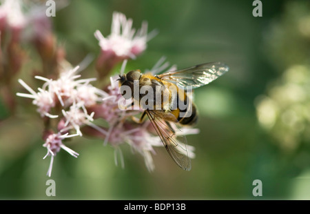 Drone fly or dronefly (Eristalis tenax) on flower - Stock Photo