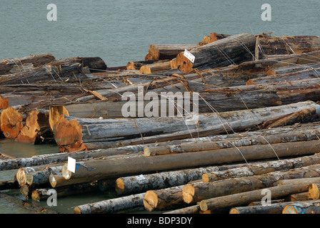Log booms waiting for transfer to locale mills on the Fraser River. - Stock Photo