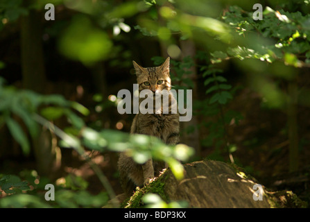 European Wildcat (Felis silvestris) in captivity - Stock Photo