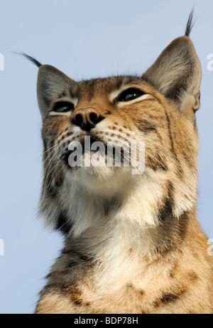 Portrait of a female European Lynx (Felis lynx). Captive animal. - Stock Photo