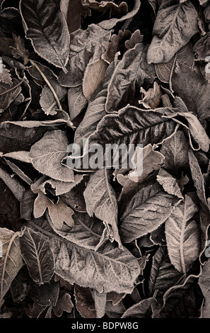 Autumn leaves with a touch of frost - Stock Photo