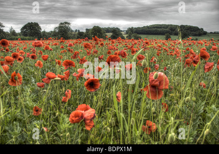 Red poppies in a field under a grey sky - Stock Photo