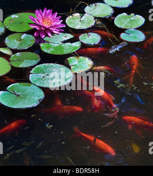 koi or gold fish in a pond with a water lily - Stock Photo