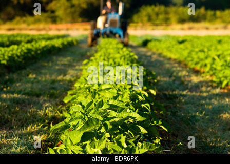 Fertlizing organic potato crop - Stock Photo
