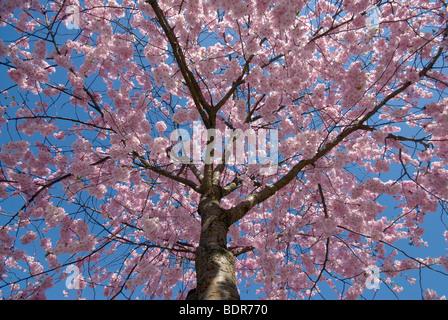Cherry blossom Sweden. - Stock Photo