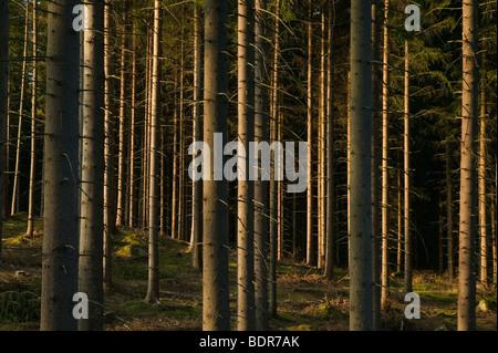 Spruceforest Sweden. - Stock Photo