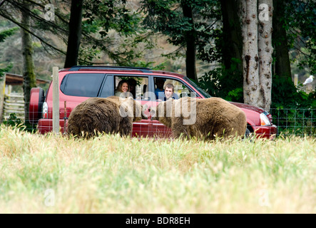 Captive male Kodiak Bears fighting in front of tourists at the Sequim Olympic Game Farm, Washington, USA - Stock Photo
