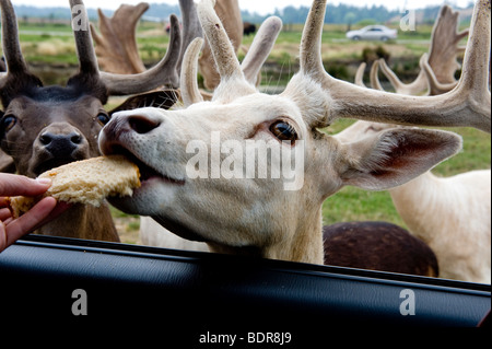 Captive Fallow Deer being fed from a car, Sequim Olympic Game Farm, Washington, USA - Stock Photo