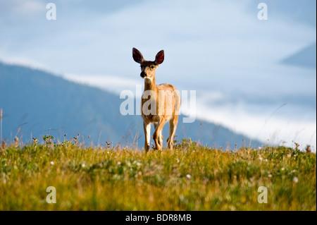 Deer at Hurricane Ridge, Olympic National Park, Washington, USA - Stock Photo