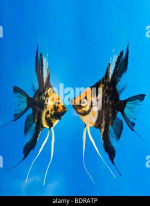 portrait of two coloured longfin angel fish scalare Pterophyllum scalare blue background orange black white silver - Stock Photo