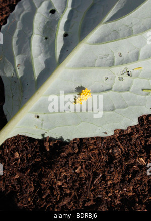 THE EGGS AND LARVAE OF PIERIS RAPAE. CABBAGE WHITE BUTTERFLY ON A CABBAGE LEAF. - Stock Photo
