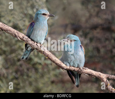European Roller Pair on Branch, Coracias garrulus, Extremadura, Spain - Stock Photo