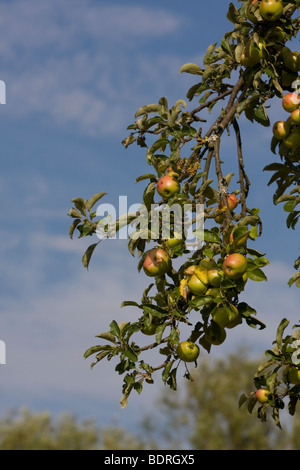 Aepfel, Apfelbaum, obstanbau, apple-tree, apple tree, - Stock Photo