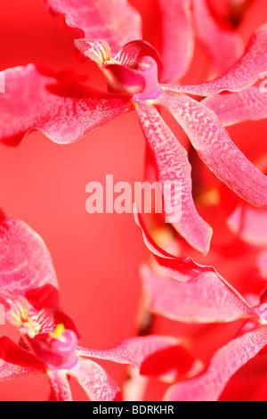 amazing azima mokara orchid - fine art photography Jane-Ann Butler Photography JABP570 - Stock Photo