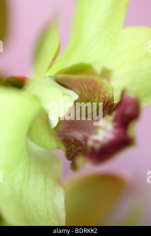 beautifully soft and ethereal dendrobium jade gold orchid - fine art photography Jane-Ann Butler Photography JABP578 Stock Photo