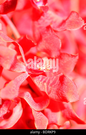 amazing azima mokara orchid - fine art photography Jane-Ann Butler Photography JABP574 - Stock Photo