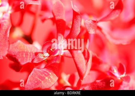 amazing azima mokara orchid - fine art photography Jane-Ann Butler Photography JABP571 - Stock Photo