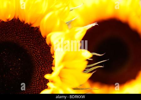 striking impressive sunflower heads - fine art photography Jane-Ann Butler Photography JABP584