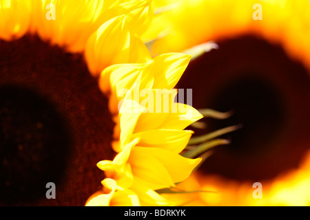 striking impressive sunflower heads in a soft contemporary style - fine art photography Jane-Ann Butler Photography - Stock Photo