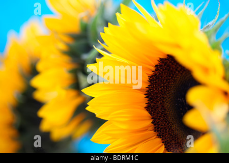 a group of beautiful sunflowers in a contemporary style - fine art photography Jane-Ann Butler Photography JABP586
