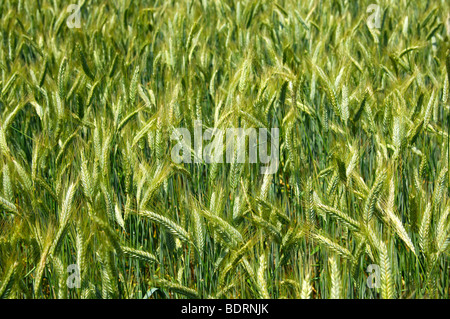 Unripe ears of rye on a field - Stock Photo