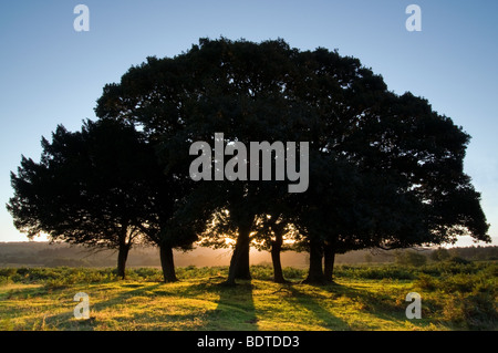 Backlit trees at Sunrise on Mogshade Hill in the New Forest National Park - Stock Photo